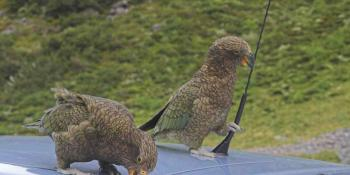 Keas attacking a car in New Zealand