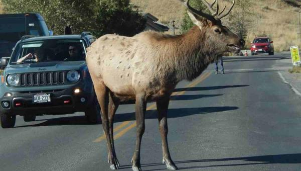 An elk stands in the road in Yellowstone National Park